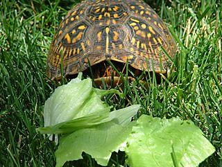 Turtlelettuce