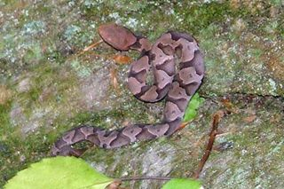 Campcopperhead