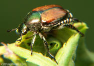 Japanese_beetle_001_small_2