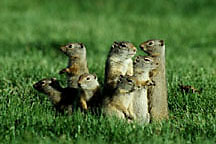 Squirrel_family